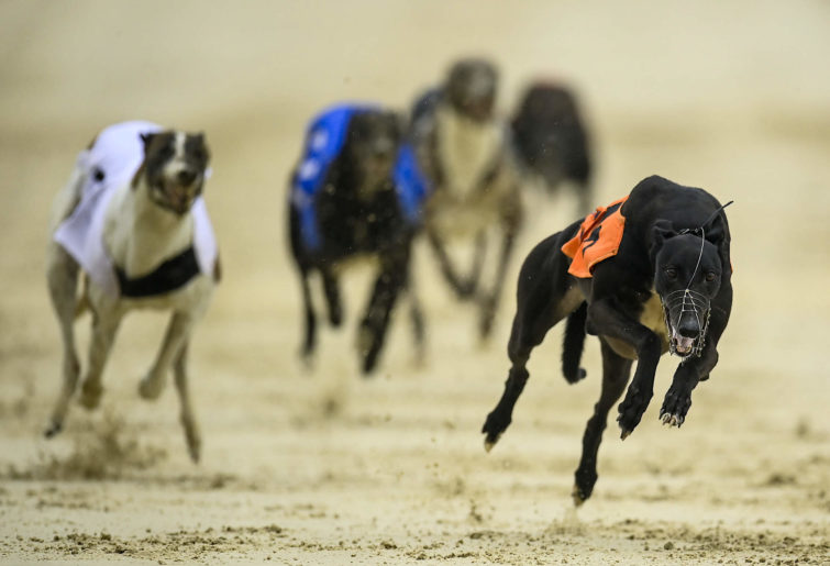 Greyhounds participate in a race